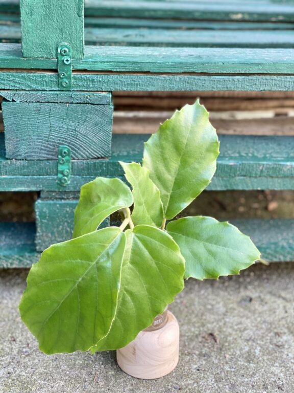 Zdjęcie rośliny Sadzonka pędowa Tetrastigma Voinierianium, ujęcie 1