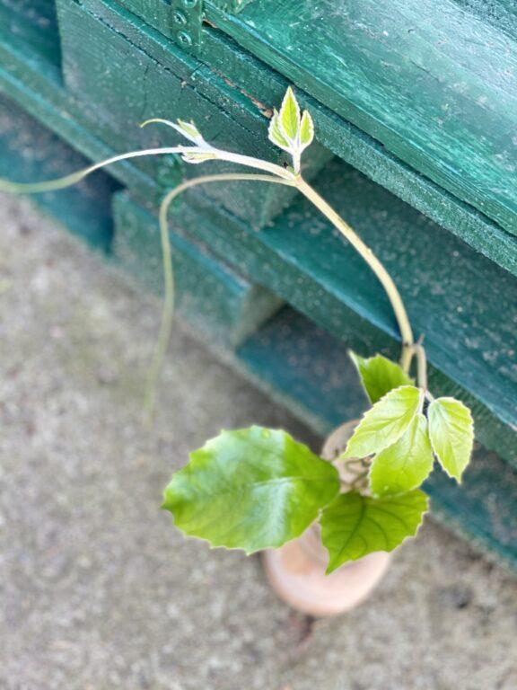 Zdjęcie rośliny Sadzonka szczytowa Tetrastigma Voinierianium, ujęcie 1
