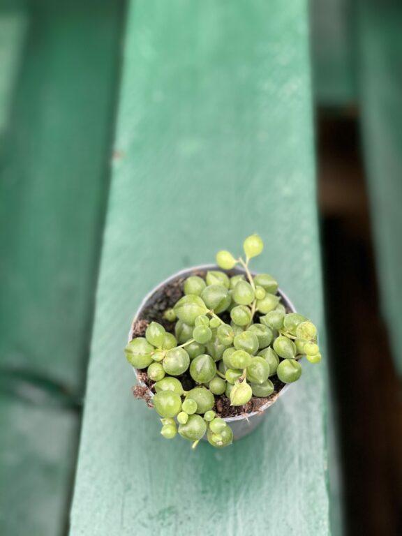 Zdjęcie rośliny Senecio Herreianus, ujęcie 1
