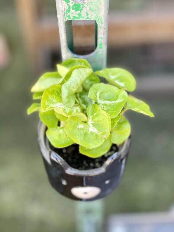 Zdjęcie rośliny Syngonium Mango Allusion, ujęcie 1