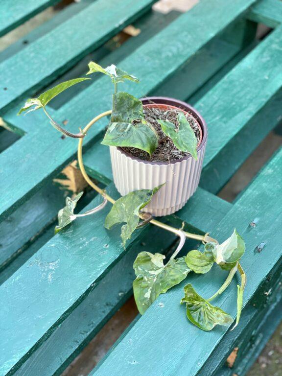 Zdjęcie rośliny Syngonium Podophyllum Albo Variegata, ujęcie 1