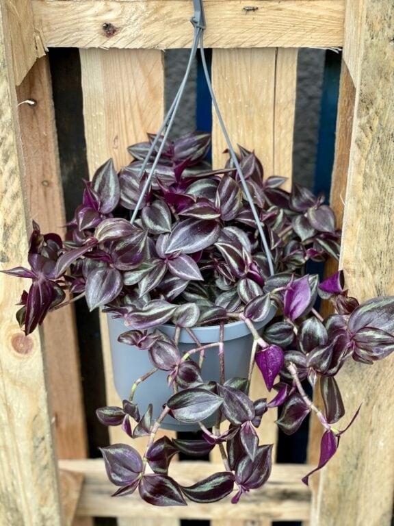 Zdjęcie rośliny Tradescantia Purple (Trzykrotka), ujęcie 1