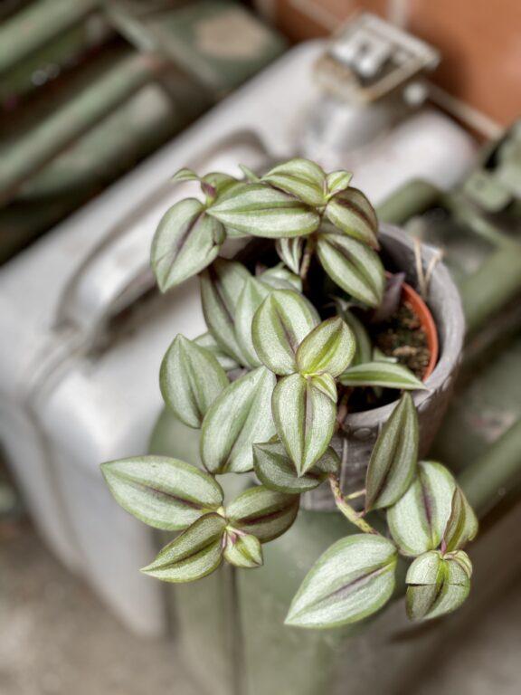 Zdjęcie rośliny Tradescantia Zebrina, ujęcie 1