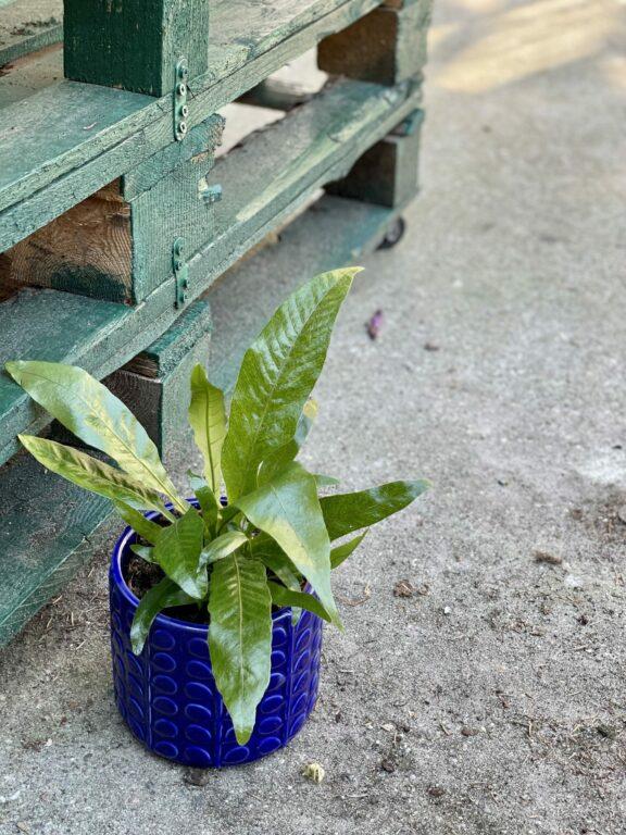 Zdjęcie rośliny Aglaomorpha Coronans, ujęcie 1