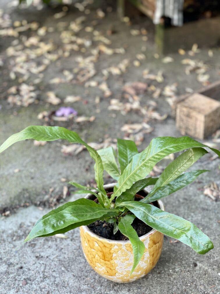 Zdjęcie rośliny Aglaomorpha Coronans, ujęcie 3