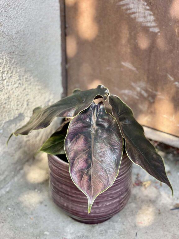 Zdjęcie rośliny Alocasia Azlanii, ujęcie 1
