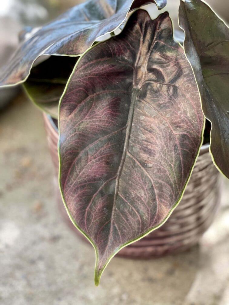 Zdjęcie rośliny Alocasia Azlanii, ujęcie 2