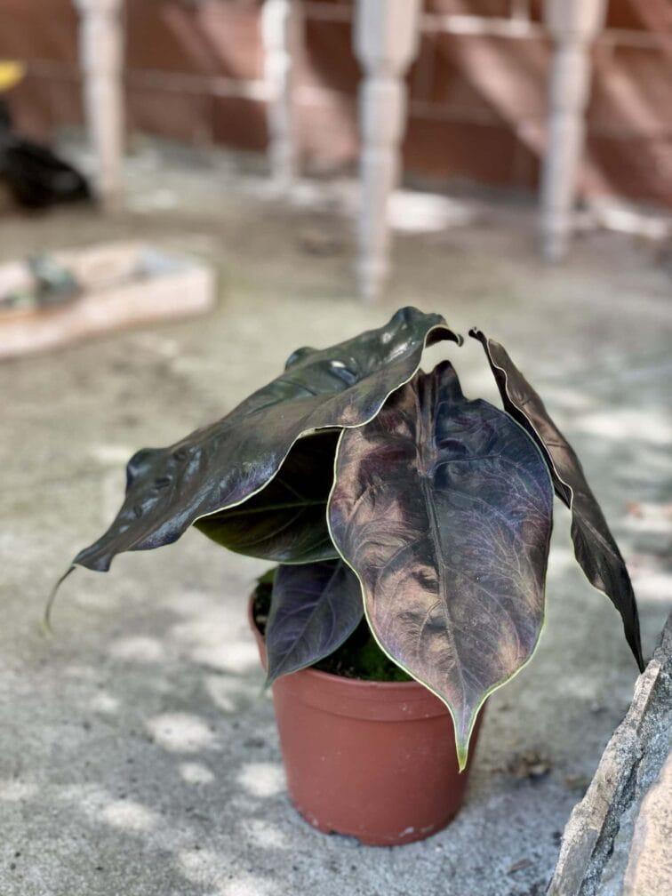 Zdjęcie rośliny Alocasia Azlanii, ujęcie 4