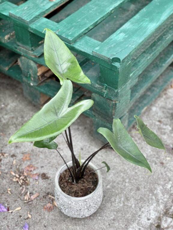 Zdjęcie rośliny Alocasia Black Zebrina, ujęcie 1