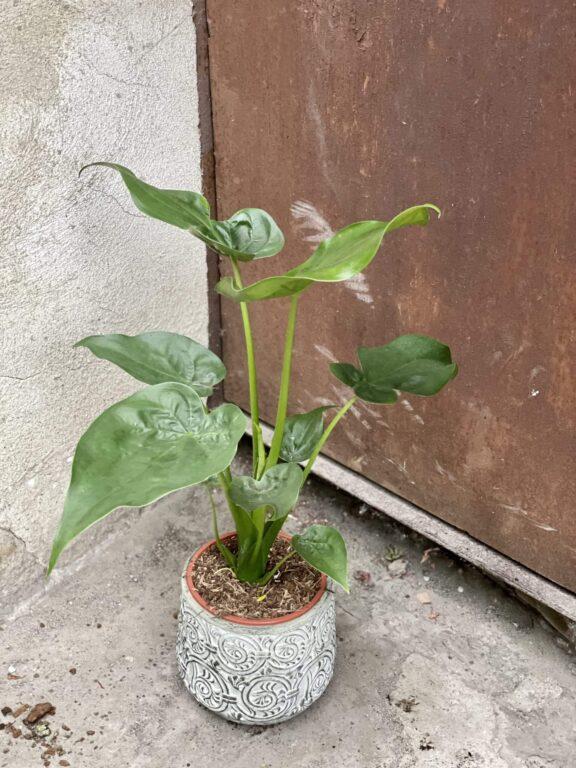 Zdjęcie rośliny Alocasia cucullata, ujęcie 1