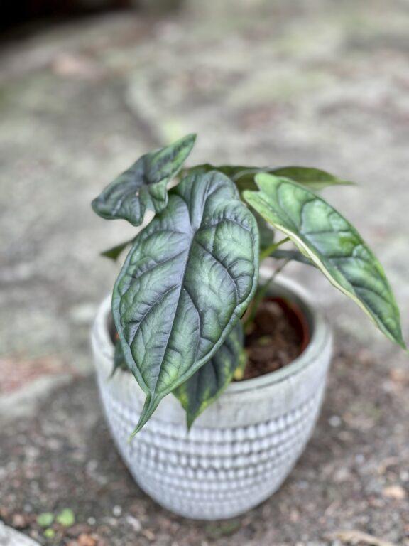 Zdjęcie rośliny Alocasia Dragon Scale, ujęcie 1