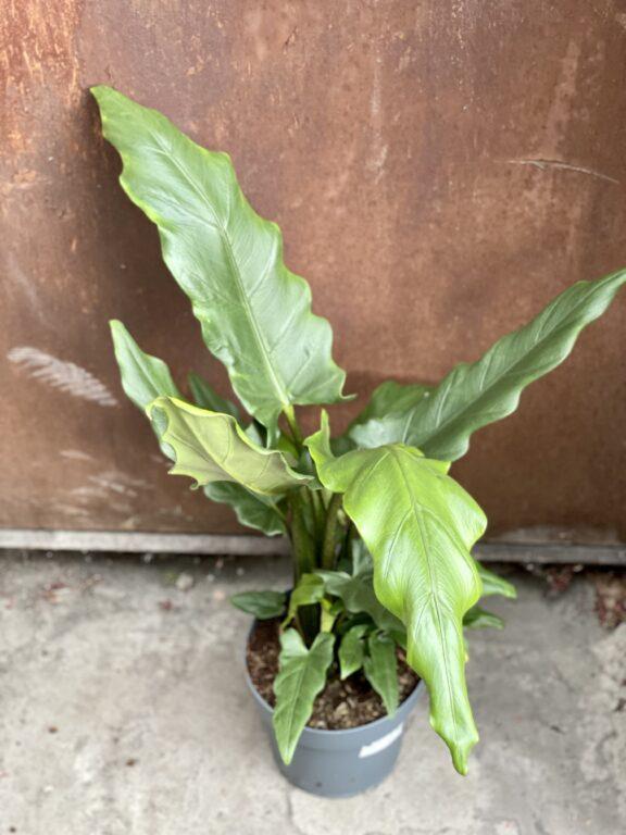 Zdjęcie rośliny Alocasia Green Lauterbachiana, ujęcie 1