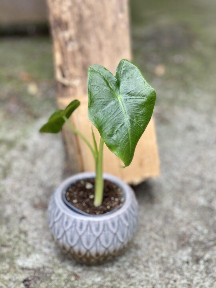Zdjęcie rośliny Alocasia Macrorhiza, ujęcie 2