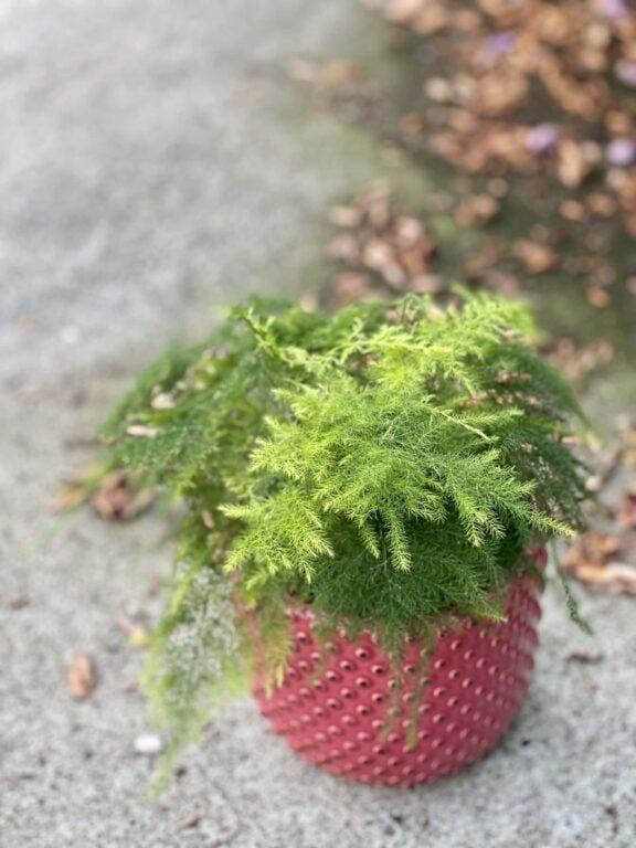 Zdjęcie rośliny Asparagus Plumosus, ujęcie 1