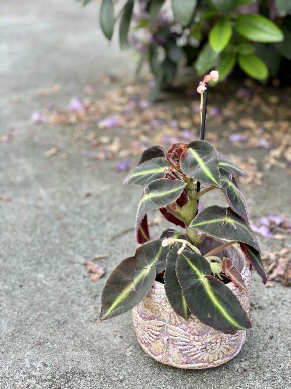 Zdjęcie rośliny Begonia listada, ujęcie 1