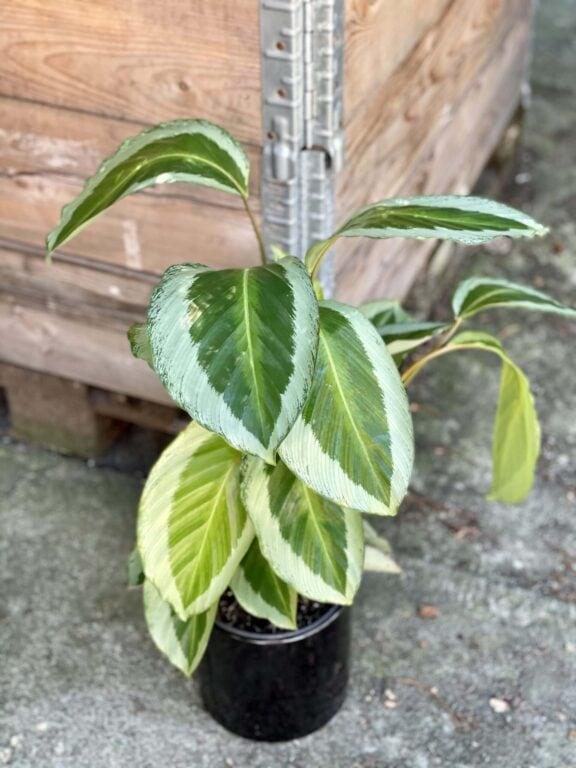 Zdjęcie rośliny Calathea Bicajoux Gecko, ujęcie 1