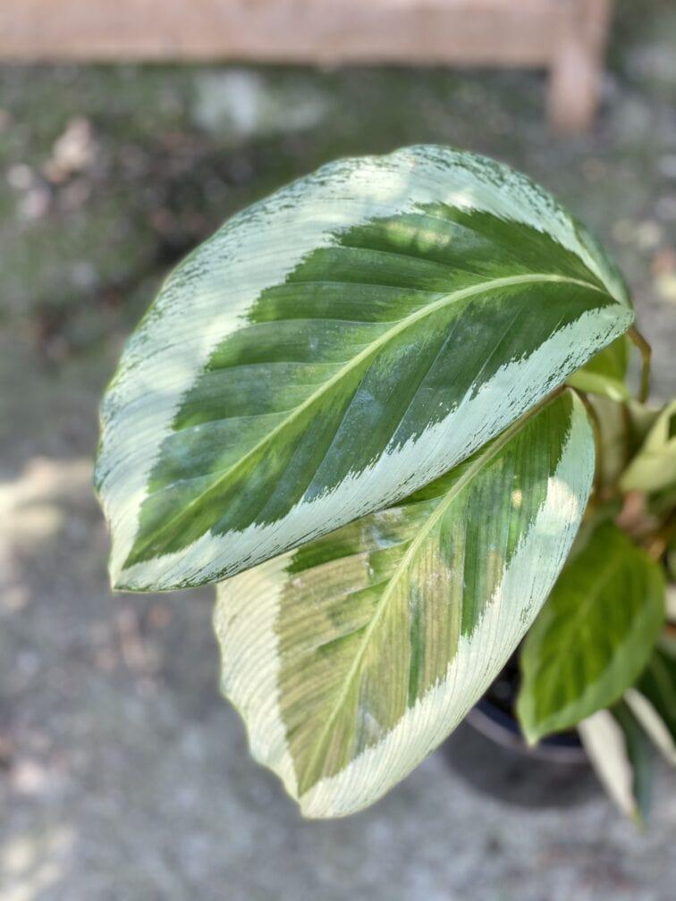 Zdjęcie rośliny Calathea Bicajoux Gecko, ujęcie 2