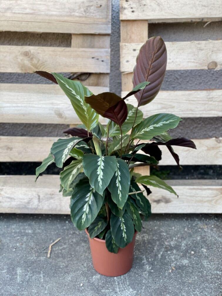 Zdjęcie rośliny Calathea Maui Queen, ujęcie 3