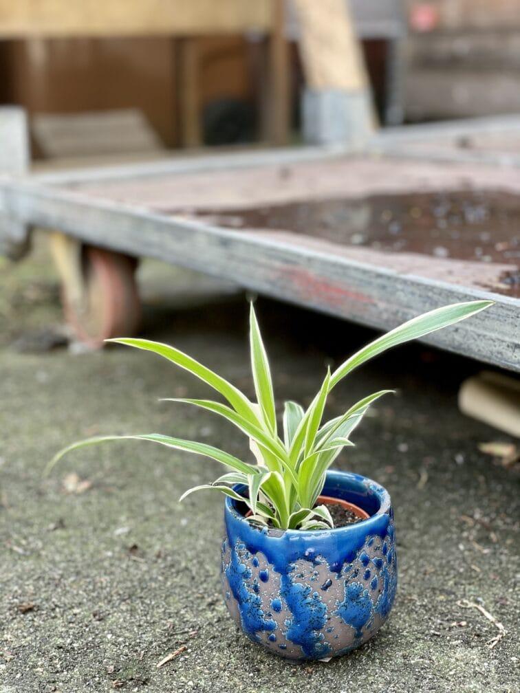 Zdjęcie rośliny Chlorophytum comosum Ocean (Zielistka), ujęcie 3