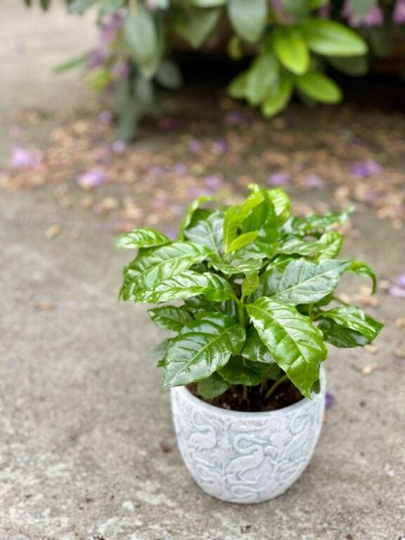 Zdjęcie rośliny Coffea arabica, ujęcie 1