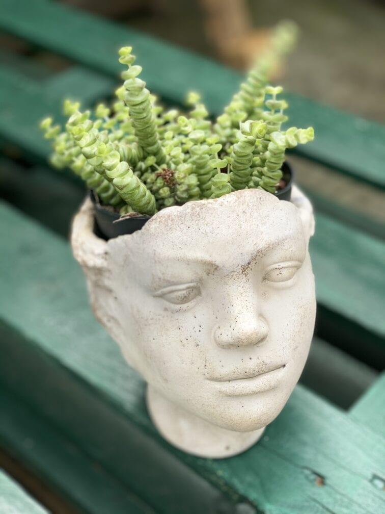 Zdjęcie rośliny Crassula Hottentot, ujęcie 2