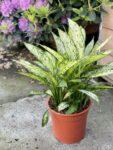 Zdjęcie rośliny Diffenbachia Vesuvii, ujęcie 1