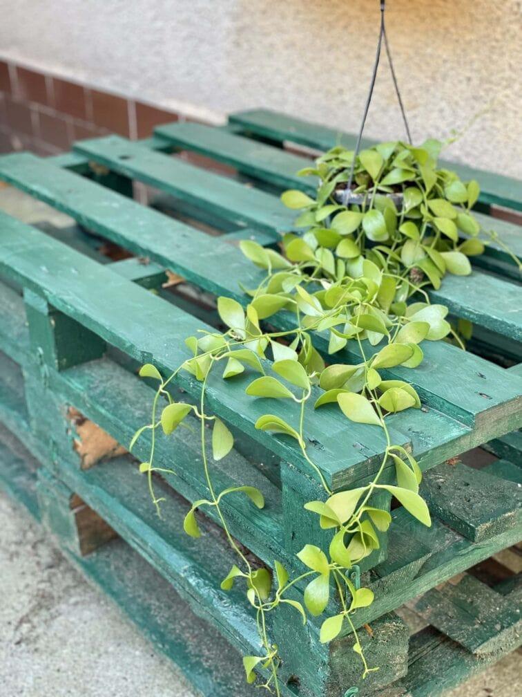 Zdjęcie rośliny Dischidia Geri, ujęcie 2