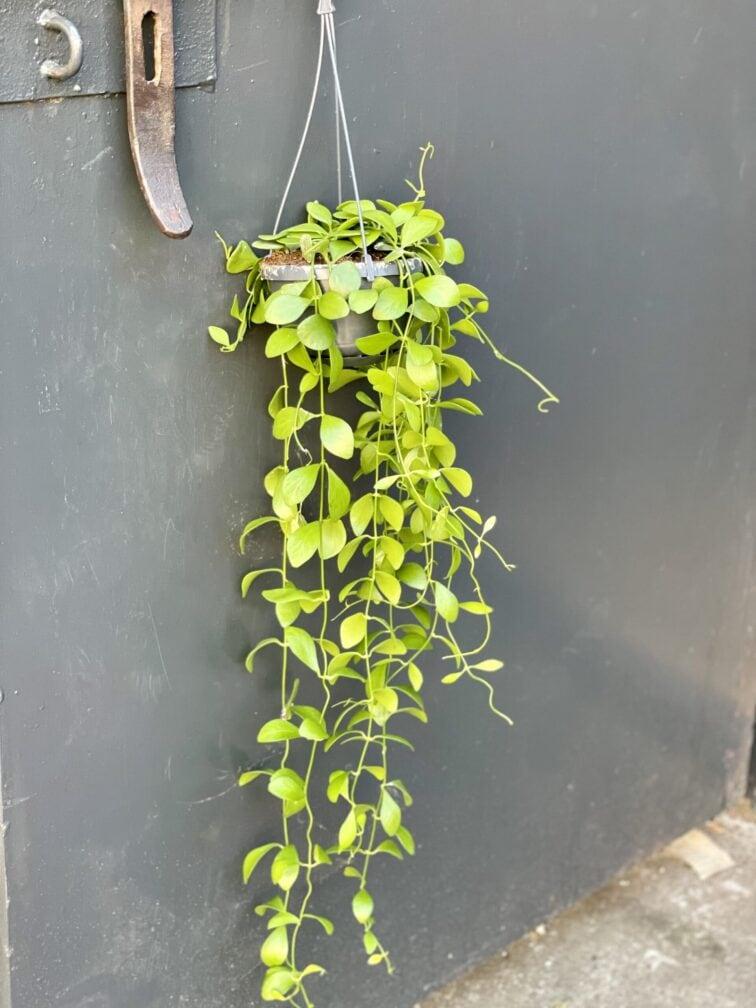 Zdjęcie rośliny Dischidia Geri, ujęcie 3