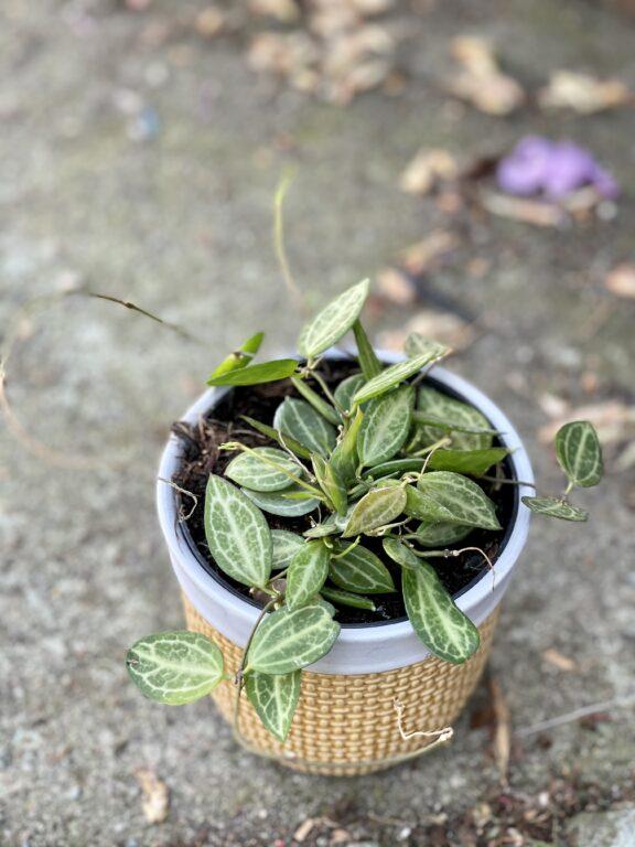 Zdjęcie rośliny Dischidia ovata, ujęcie 1