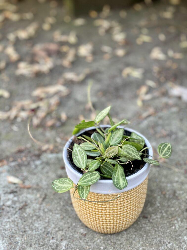 Zdjęcie rośliny Dischidia ovata, ujęcie 3