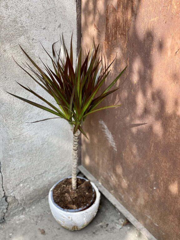 Zdjęcie rośliny Dracaena marginata Magenta, ujęcie 1