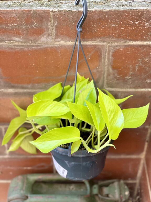 Zdjęcie rośliny Epipremnum Golden Pothos, ujęcie 1