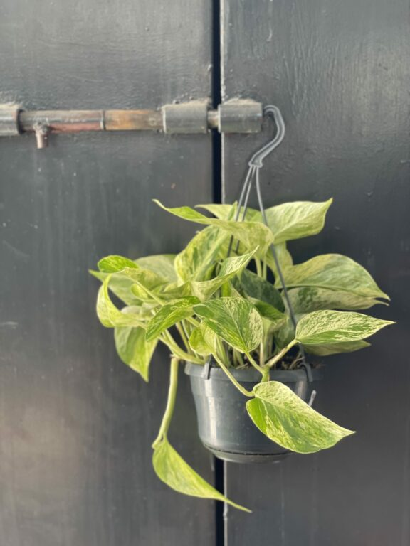 Zdjęcie rośliny Epipremnum Marble Queen, ujęcie 1