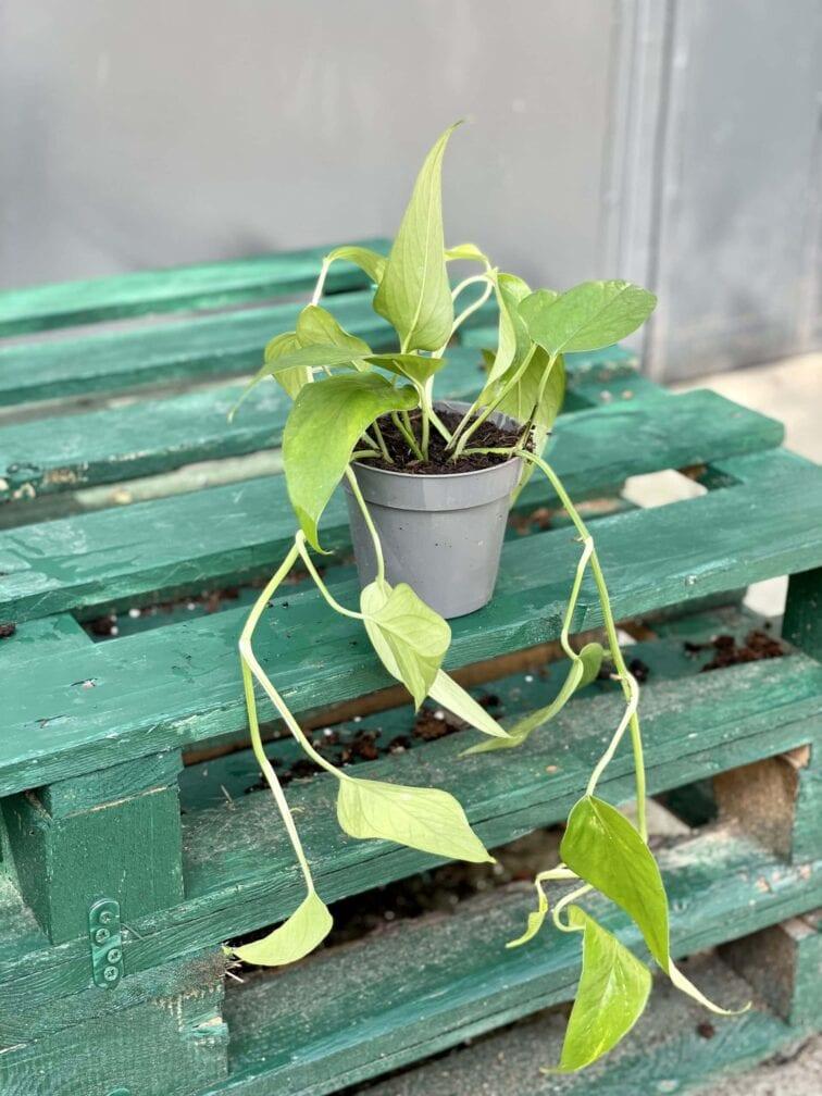 Zdjęcie rośliny Epipremnum Pinnatum, ujęcie 2