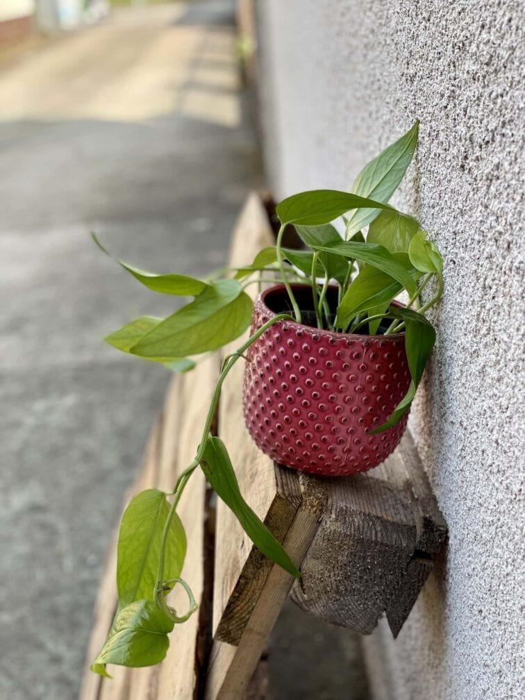 Zdjęcie rośliny Epipremnum Pinnatum, ujęcie 3