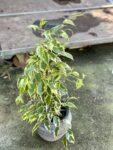 Zdjęcie rośliny Ficus benjamina Petite Samantha, ujęcie 1