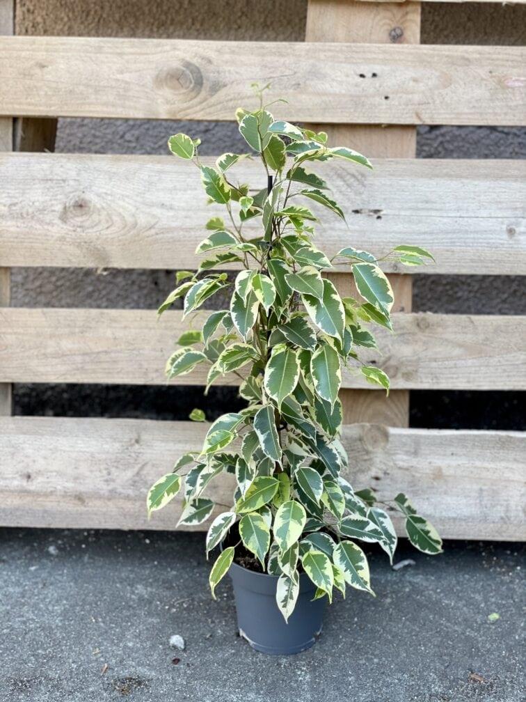 Zdjęcie rośliny Ficus benjamina Petite Samantha, ujęcie 2
