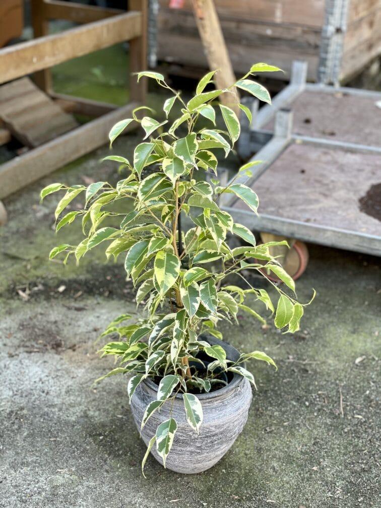 Zdjęcie rośliny Ficus benjamina Petite Samantha, ujęcie 3