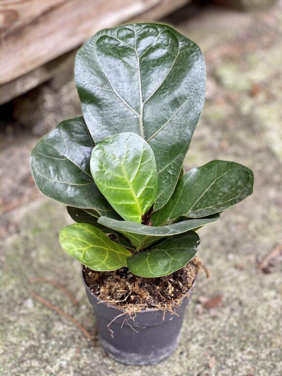 Zdjęcie rośliny Ficus lyrata bambino, ujęcie 1