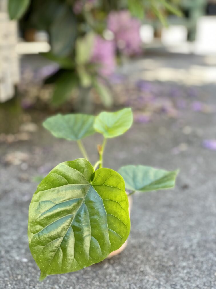 Zdjęcie rośliny Ficus Umbrelata, ujęcie 1