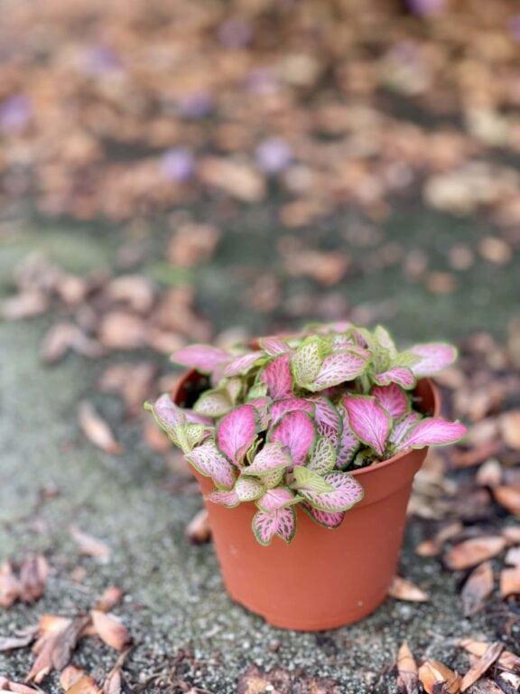 Zdjęcie rośliny Fittonia Ruby Lime, ujęcie 1