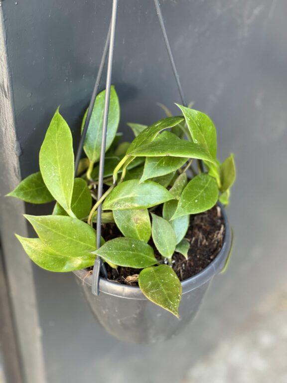 Zdjęcie rośliny Hoya carnosa Sunshine, ujęcie 1