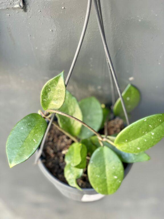 Zdjęcie rośliny Hoya Carnosa, ujęcie 1