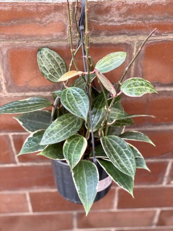 Zdjęcie rośliny Hoya macrophylla albomarginata, ujęcie 1