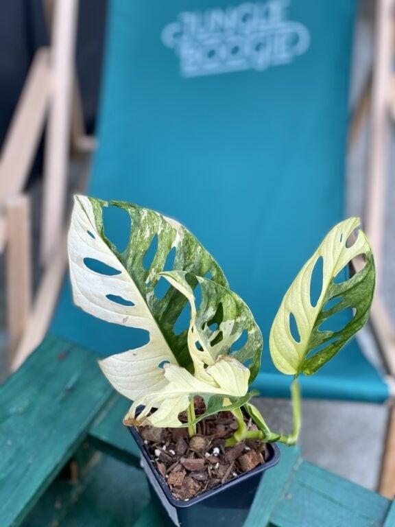 Zdjęcie rośliny Monstera adansonii variegata, ujęcie 1