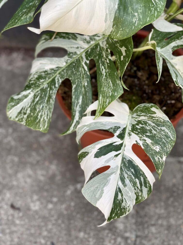 Zdjęcie rośliny Monstera deliciosa variegata, ujęcie 4