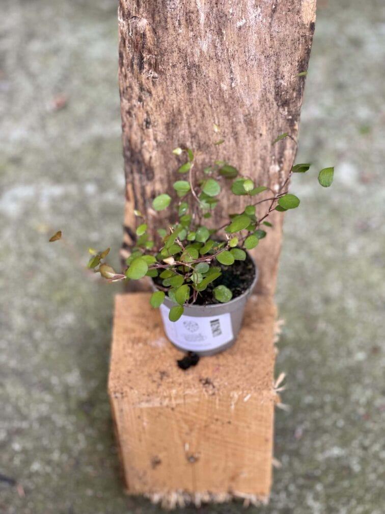 Zdjęcie rośliny Muehlenbeckia complexa Maori Moments, ujęcie 2