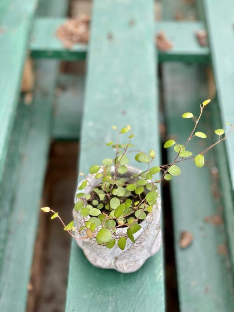 Zdjęcie rośliny Muehlenbeckia complexa Maori Moments, ujęcie 3