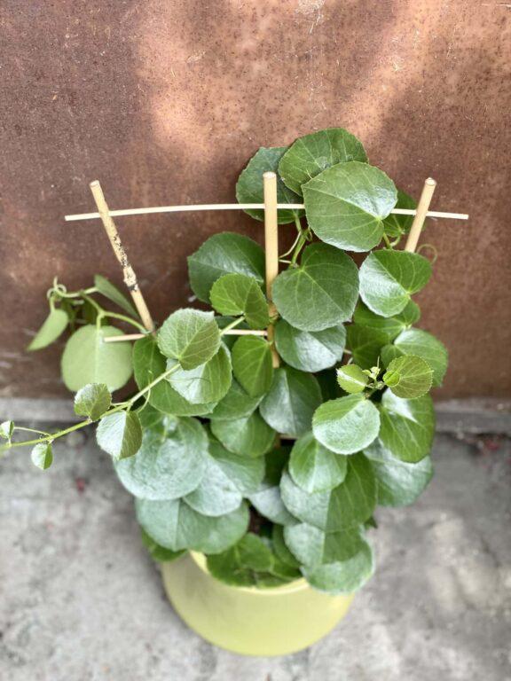 Zdjęcie rośliny Parthenocissus rotundifolia, ujęcie 1