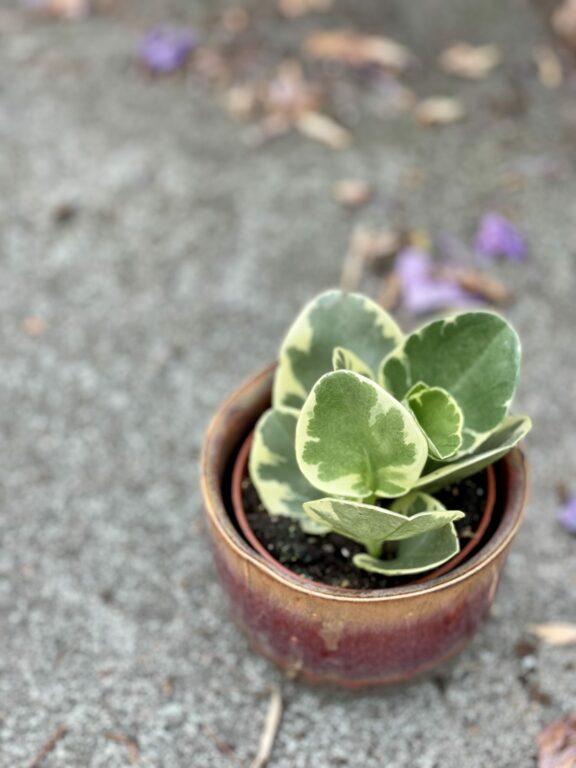 Zdjęcie rośliny Peperomia Obtusifolia Variegata, ujęcie 1